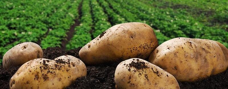Khoai tây không chỉ giúp làm đẹp mà còn rất tốt cho sức khỏe