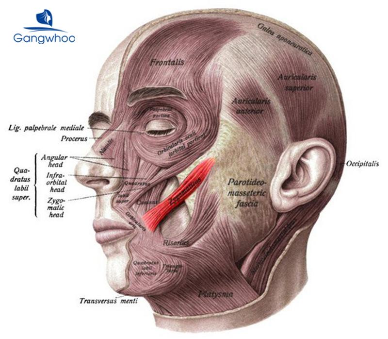 cơ zygomaticus major là nguyên nhân tạo má lúm đồng tiền trên mặt