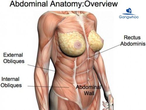 cấu tạo các loại cơ bụng nữ giới